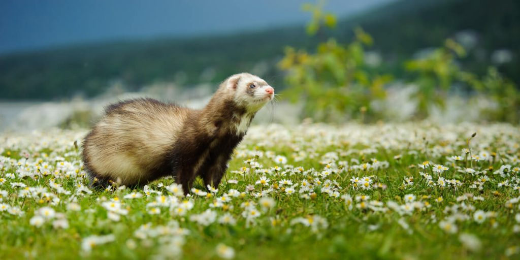PFMA ferret outside