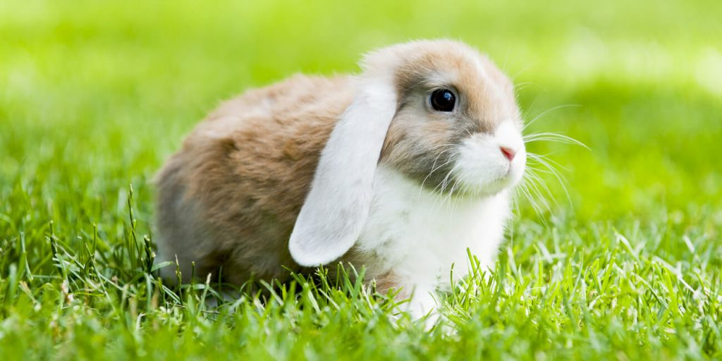 PFMA pet rabbit outside